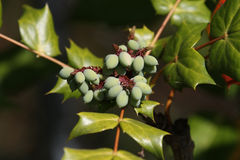 Oregon Grape Mahonia Aquifolium Royalty Free Stock Image