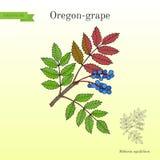 Oregon grape Mahonia aquifolium Royalty Free Stock Photo