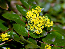 Oregon Grape (Mahonia aquifolium) Royalty Free Stock Image