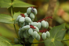 Oregon Grape Mahonia Aquifoliume berries Stock Photography