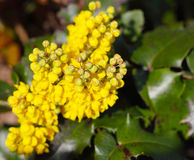Oregon grape Royalty Free Stock Photos