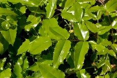 Mahonia aquifolium leaves. Background of shiny green mahonia aquifolium or Oregon grape leaves Stock Photos