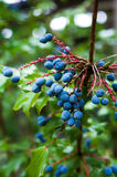 Oregon Grapes Royalty Free Stock Photography