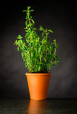 Oregon Growing in a Pottery Pot. Growing Oregano Plant in a Pottery Pot. Organic Culinary Herb for Cooking Royalty Free Stock Photography