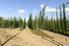 Oregon Grown Hops, Mid-Willamette Valley, Polk County Oregon. Oregon Grown Hops, Mid-Willamette Valley Stock Photography