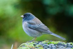 Oregon Junco Stock Afbeelding