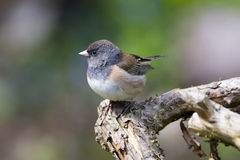 Oregon Junco Royalty Free Stock Photo