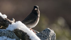 Oregon Junco (Junco hyemalis) Obrazy Royalty Free