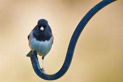 Oregon Junco (Junco hyemalis oreganus) Royalty Free Stock Image