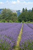 Oregon Lavender Flower Fields Stock Photography