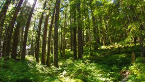 Oregon Lush Forest 645 stock footage