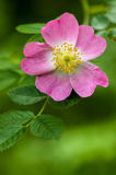 Oregon Native. Wild Rose - Willamette Valley Oregon Royalty Free Stock Image