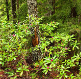 Oregon portrait. Wild rhododendrons in a natural forest Royalty Free Stock Photos