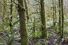 Oregon rain forest Stock Photography