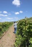 Oregon raspberry farms U-pick. Stock Photos
