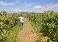 Oregon raspberry farms U-pick. Royalty Free Stock Photo