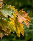 Oregon Regen getränkter Autumn Leaves Lizenzfreie Stockfotografie