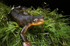 Oregon Salamander on forest floor Stock Photography