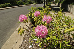 Oregon Sidewalk Flowers Stock Photo