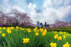 Oregon State Capitol in Spring Season. Oregon State Capitol in Salem Oregon with Cherry Blossom Trees and Daffodils Flowers blooming during Spring Season stock photos