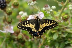 Oregon Swallowtail Butterfly (Papilio oregonius) Royalty Free Stock Photography