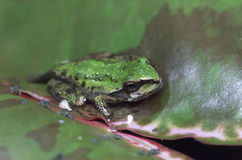 Oregon Tree Frog Royalty Free Stock Photo