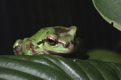 Oregon Tree Frog royalty free stock photos
