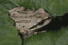 Oregon Tree Frog stock image