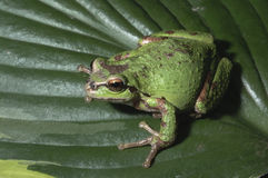Oregon Tree Frog stock photography