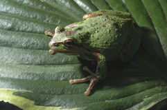 Oregon Tree Frog stock images