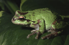 Oregon Tree Frog royalty free stock images