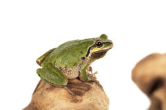 Oregon Tree Frog Royalty Free Stock Image