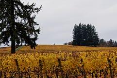 Oregon Vineyard in Autumn Stock Photo