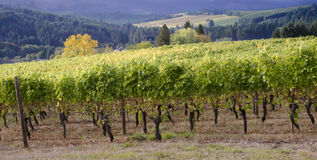Oregon vineyard panorama. A panoramic view of a Willamette Valley vineyard in Oregon's Willamette Valley wine country with a neighboring vineyard in the Stock Photos