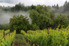 Oregon Vineyard in Spring stock photos