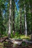 Oregon-Wald stockfotos