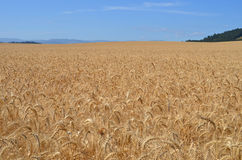 Oregon Wheat field Royalty Free Stock Photography
