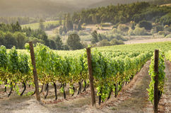 Oregon wine country. A vineyard in Oregons Willamette Valley wine country overlooks the coast range valley below with another vineyard in the distance Stock Images
