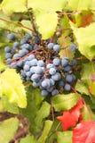 Oregon winogrona rośliny zbliżenie Obrazy Stock