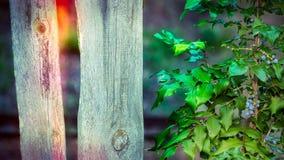 Oregon winogrono obok starego drewna ogrodzenia Mahoni aquifolium fotografia stock