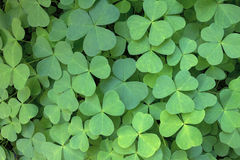 Oregon Wood Sorrel. In the forest of Columbia River Gorge Closeup Royalty Free Stock Photography