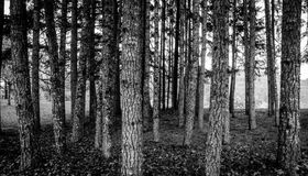 Oregon woods. Black and White Landscape of Oregon trees in the wine country Royalty Free Stock Image