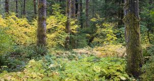 Oregon Woods. A panorama of the woods in Oregon`s coast range between Corvallis and Eugene in the fall stock photography