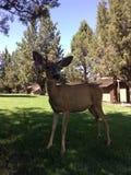 Oregonian deer. Close up of an Oregonian deer in Redmond at eagle crest resort Royalty Free Stock Photo