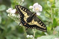 Oregonius van de Vlinderpapilio van Oregon Swallowtail Royalty-vrije Stock Afbeeldingen