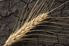 Oreille aride de la terre et de blé Images stock