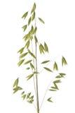 Oreille d'avoine Image stock