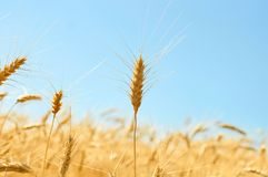 Oreille d'or de blé mûr devant le ciel de vlue Images stock