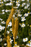 Oreille de blé Images libres de droits