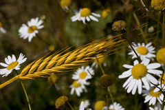 Oreille de blé Images stock